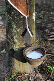 乳汁橡胶树 免版税库存照片
