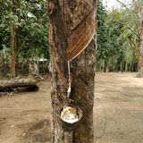 乳汁生产者橡胶树 库存照片