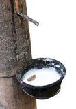 乳汁生产者橡胶树 免版税图库摄影