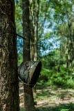 乳汁生产者橡胶树 免版税库存照片