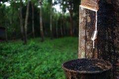乳汁生产者橡胶树 库存图片