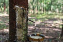 乳汁生产者橡胶树 图库摄影