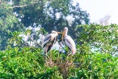 乳状鹳,基于树的夫妇鸟在下雨以后 免版税库存图片