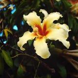 乳脂状的黄色象百合的花 变老的照片 木棉 免版税库存照片