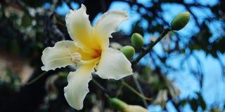 乳脂状的黄色象百合的花 葡萄酒作用 免版税库存图片