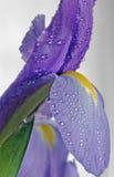 乳臭未干的虹膜正方形 库存照片