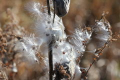 乳草厂破裂(萝蘑属syriaca) 免版税库存照片