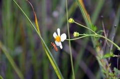 乳草在花的猎蝽 图库摄影