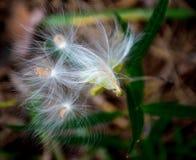 乳草种子被发布给风 库存照片