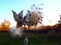 乳草荚和种子剪影在金黄小时 免版税库存图片