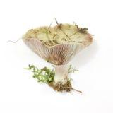 乳菇属蘑菇paradoxus 库存照片
