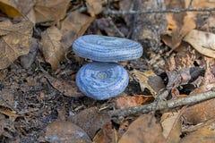 乳菇属靛蓝或蓝色牛奶蘑菇 库存照片