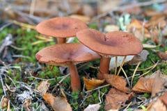 乳菇属rufus 在下落下来的叶子中的三个蘑菇 库存照片