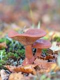 乳菇属rufus 在下落下来的叶子中的两个蘑菇 库存图片