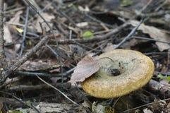 乳菇属turpis蘑菇 免版税库存照片