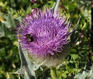 乳蓟植物东非香草marianum草本补救 刻痕,与土蜂的Cardus marianus 免版税库存照片