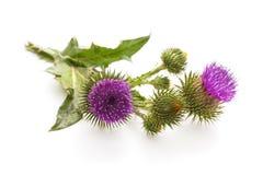 乳蓟植物 免版税库存图片