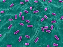 乳酸杆菌属 免版税图库摄影