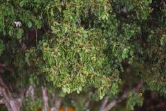 乳香树叶茂盛墙纸和背景叶子作为墙纸和被构造的背景使用的 免版税库存照片