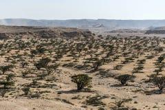 乳香树在塞拉莱阿曼6附近种植plantage农业生长沙漠 库存图片
