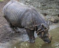 了不起的印地安犀牛女性 免版税图库摄影