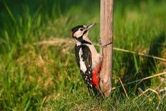 了不起的发现的啄木鸟Dendrocopos少校 免版税库存照片