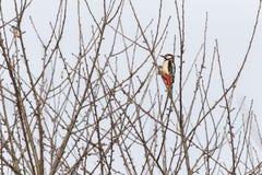 了不起的啄木鸟Dendrocopus少校 库存图片