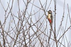 了不起的啄木鸟Dendrocopus少校 免版税库存图片
