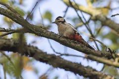 了不起的啄木鸟Dendrocopus少校 免版税库存照片