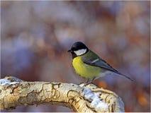 了不起的山雀冬天 库存照片