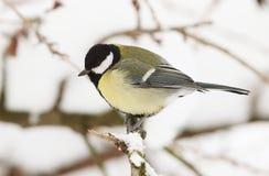 了不起的山雀冬天 免版税库存照片