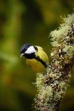 了不起的山雀,帕鲁斯少校,黑和黄色歌手在前面坐与锥体,在自然的小的鸟的好的地衣树枝 库存图片