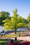 了不起的彼得的时期橡木在公园Kadriorg 库存照片