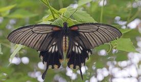 了不起的摩门教徒(Papilio memnon) 免版税图库摄影