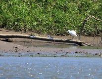了不起的白白鹭和朋友 免版税图库摄影