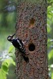 了不起的被察觉的啄木鸟Dendrocopos少校男性 图库摄影