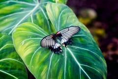 了不起的黄色摩门教徒Papilio lowi女性有开放翼顶视图 库存图片