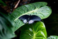 了不起的黄色摩门教徒Papilio lowi男性有开放翼顶视图 库存照片