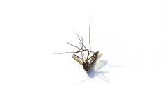 死了与剧烈的阴影的蚊子 免版税图库摄影