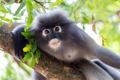 戴了眼镜叶猴猴子画象 免版税库存照片