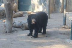 戴了眼镜熊在动物园里 免版税图库摄影