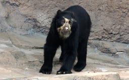 戴了眼镜熊或安地斯山的熊是地方性熊到南美 免版税图库摄影