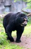 戴了眼镜熊或安地斯山的熊是地方性熊到南美 图库摄影
