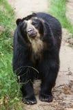 戴了眼镜熊Tremarctos ornatus 库存图片