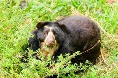 戴了眼镜狂放的安地斯山的熊 免版税库存图片