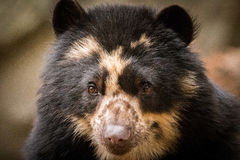 戴了眼镜的熊 免版税库存照片