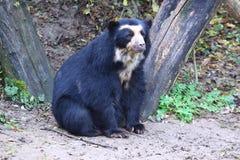 戴了眼镜的熊 库存照片