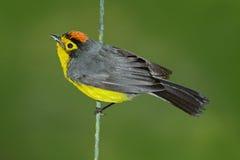 戴了眼镜Whitestart, Myioborus melanocephalus,从厄瓜多尔的新的世界鸣鸟 唐纳雀在自然栖所 野生生物场面为 免版税库存图片