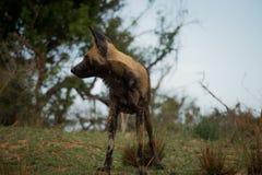 给予注意的非洲豺狗在克留格尔国家公园,南非 库存图片