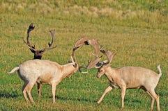 争吵在紫花苜蓿领域的两个小鹿大型装配架 免版税图库摄影